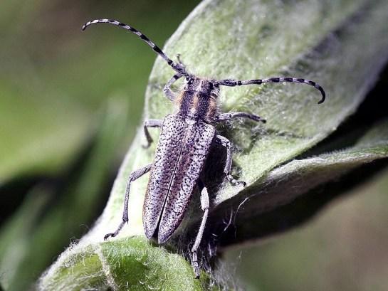 O.argentata