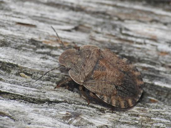 S. umbrinus