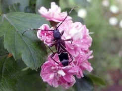 A.simplicicornis