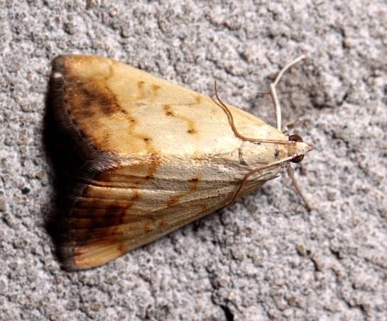 E.extimalis