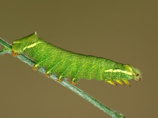 Endromis caterpillar