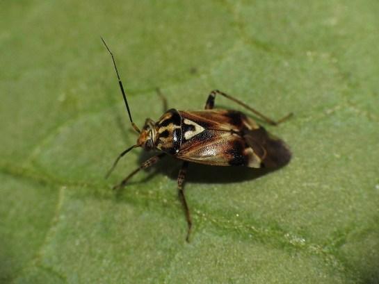 L.pratensis