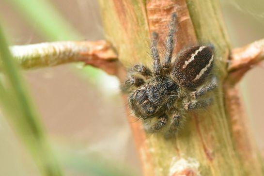 P.chrysops