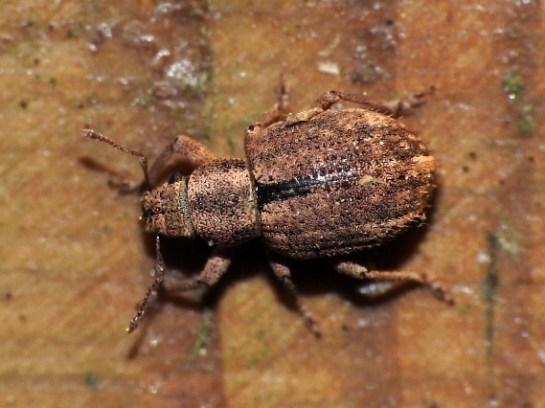 S.melanogrammum