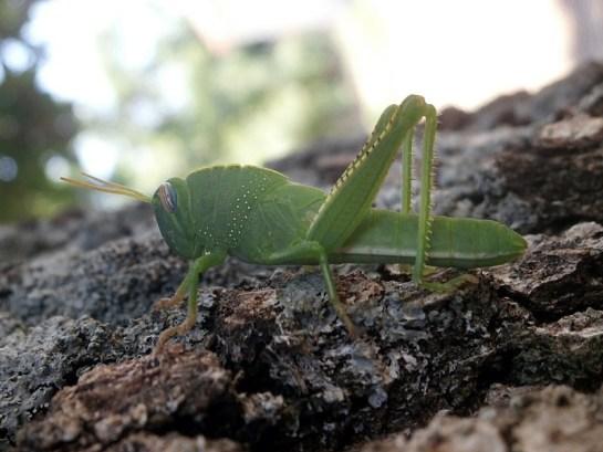A.aegyptium