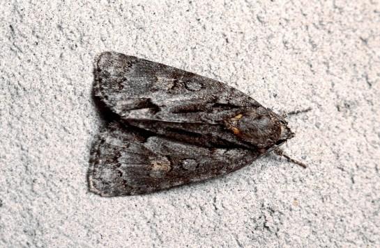 A.strigosa