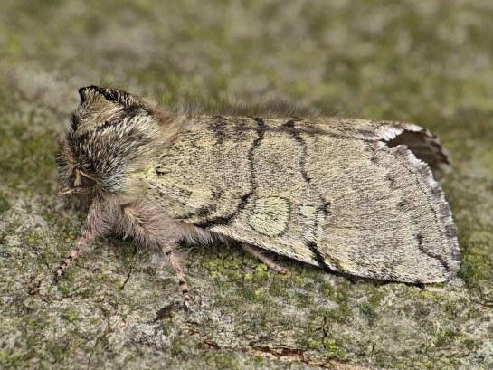 Ac-flavicornis