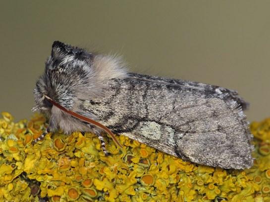 Ach-flavicornis