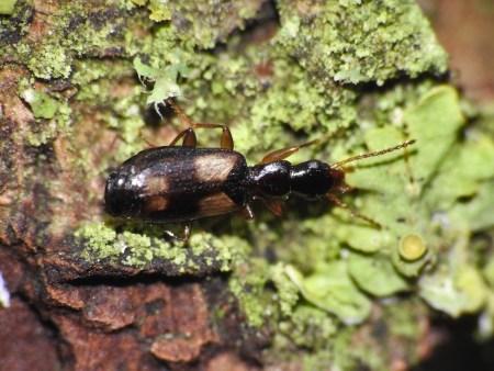 c. spilotus.