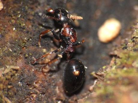 d. quadripunctatus (1)