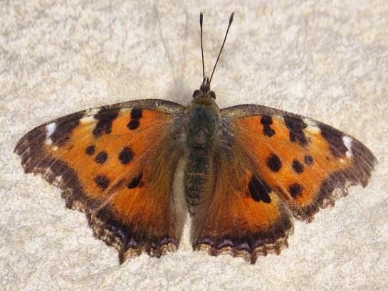 N.xanthomelas