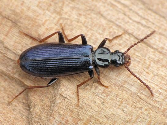 P.depressus