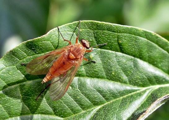 R.tringarius
