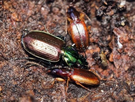 A.sexpunctatum