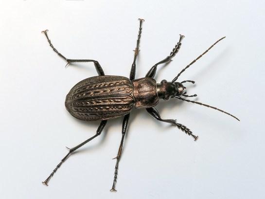 C.granulatus
