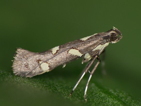cal-phasianipennella