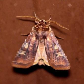 Cer.leucographa