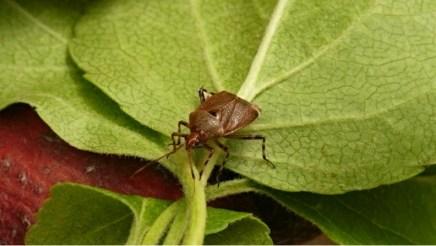 D.olivaceus.