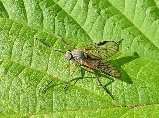 R.vitripennis