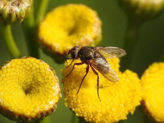 S.geniculata.