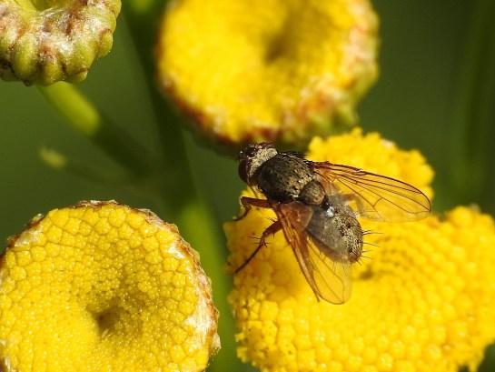 S.geniculata