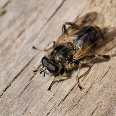 Chalcosyrphus eunotus (Syrphidae)