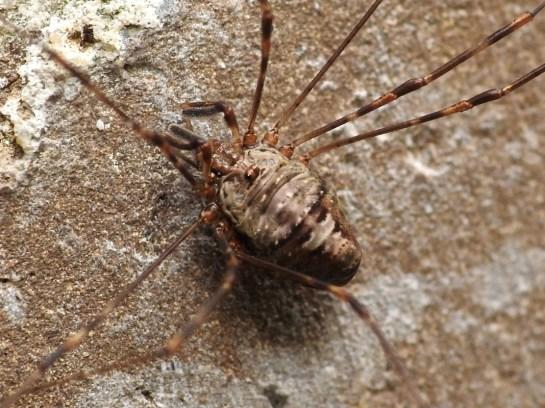 Dicranopalpus ramosus2 (1)