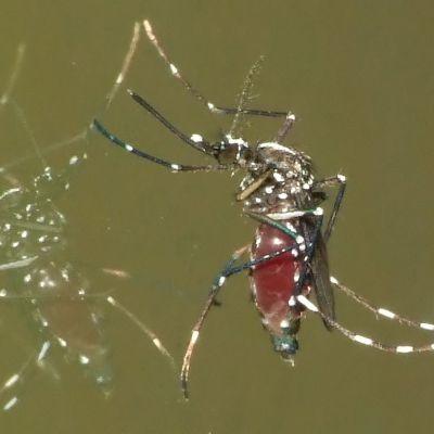 Komar tygrysi Aedes albopictus
