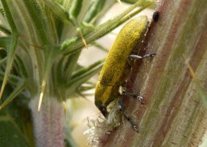 Curculionidae, CC-BY-SA-4.0, Michael Balkenohl, Bonstetten, Switzerland
