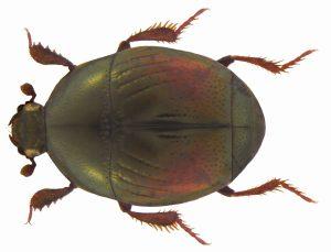 Stutzkäfer der Familie Histeridae, CC-BY-SA-2.0, Udo Schmidt, Germany, https://www.flickr.com/photos/coleoptera-us/