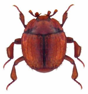 Die Histeriden (Stutzkäfer), eine in der Schweiz verkannte Käferfamilie