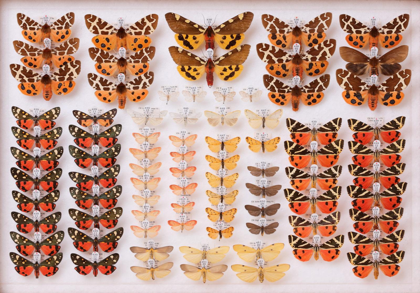 Lepidoptera, CC-BY-NC 4.0, Natural History Museum Bern, Bern, Switzerland