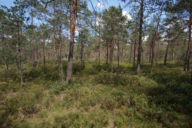 Weissrussland, Belarussia, Wald-Hochmoor, Habitat, bei Minsk, CC-BY-SA-4.0, Martin Albrecht, Bolligen, Switzerland