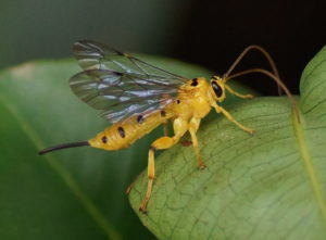 Ichneumonidae wasp, CC-BY-SA-3.0, Vengolis, https://en.wikipedia.org/wiki/Xanthopimpla_punctata#/media/File:Yellow_Ichneumon_Wasp.jpg