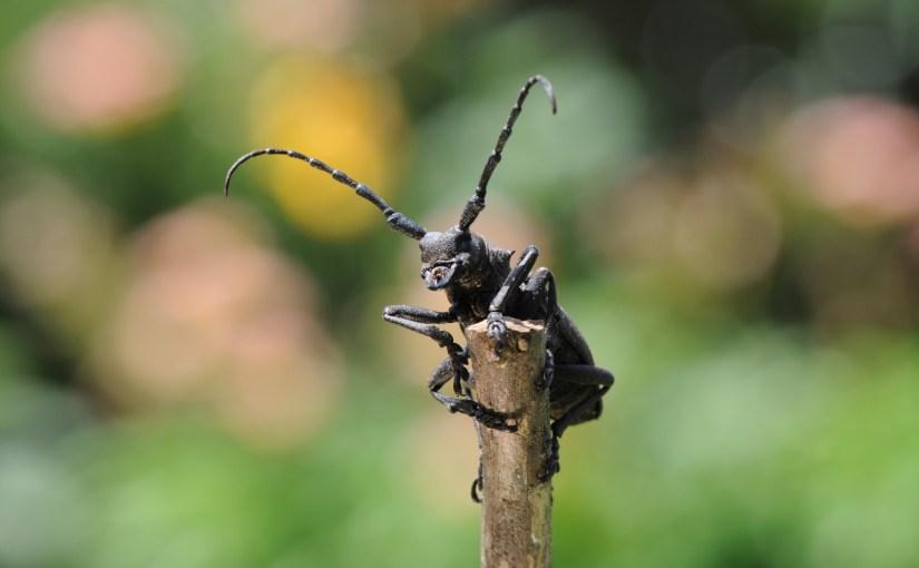 Insekten-Förderschwerpunkte im Kanton Bern: Käfer