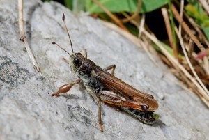 Heuschrecke, alpine Insekten, Schweiz, CC BY-SA-4.0 Daniel Roesti, Wasen i.E., Switzerland