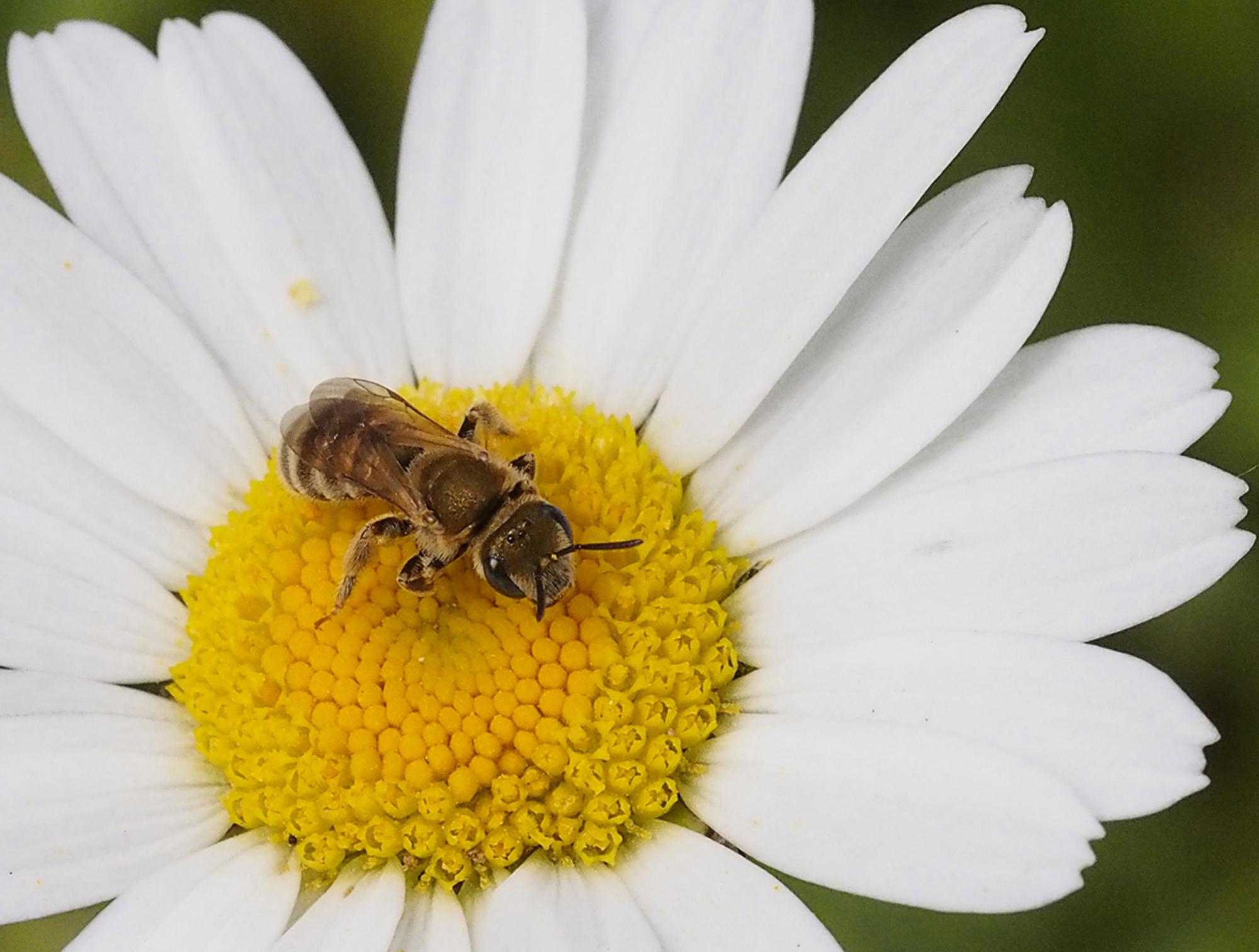 Furchenbiene, Halictus subauratus, im Garten, CC-BY-SA-4.0, Rolf Pflugshaupt, Gümligen. Switzerland