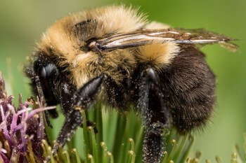 Hummel als Gast im Insektenhotel