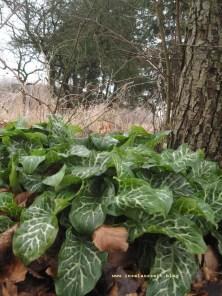 Hostas im Obstgarten