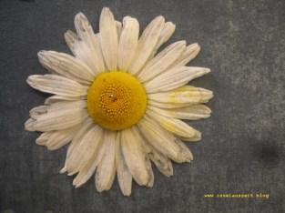 Sunprinting Pflanzendruck Emilielunden Margerite 071