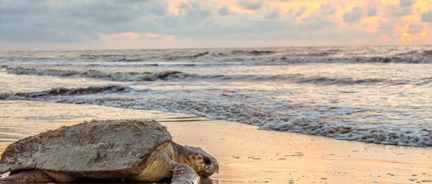 Unechte Karettschildkröte: Muttertier auf dem Weg zurück ins Meer nach der Eierablage. - Foto: Georgia Sea Turtle Center, Breanna Ondich