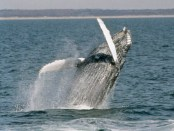 Whale Watching in Virginia Beach. - Foto: Visit Virginia Beach