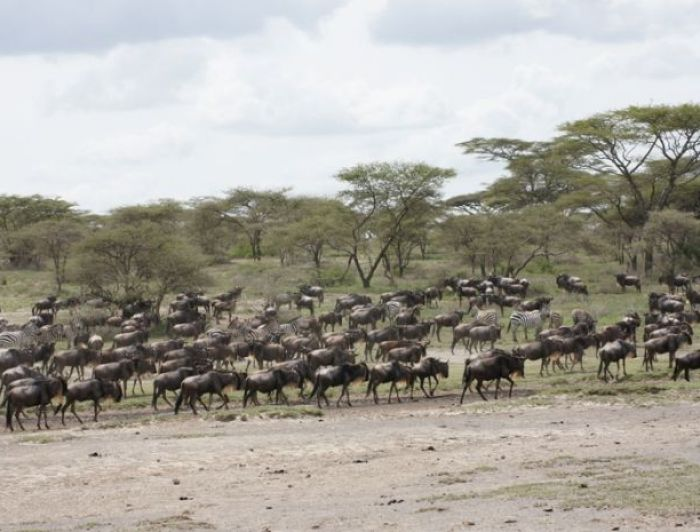 Wildebeest and Zebras in Serengeti