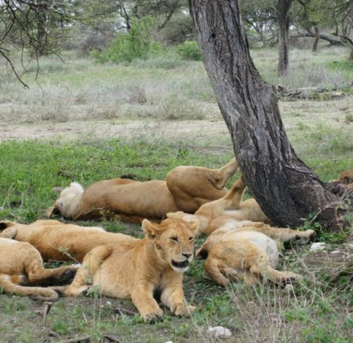 Lion family in Ngorongoro Conservation Area