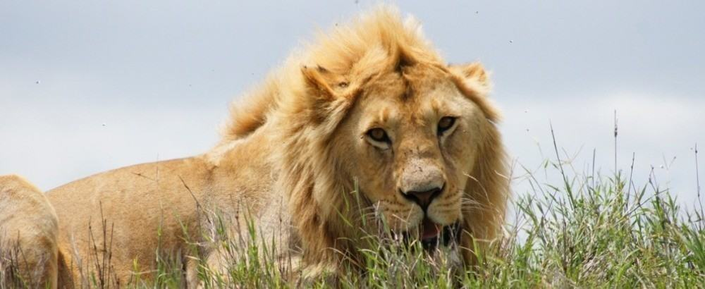 This is the King of the Jungle, male Lion resting in Ngorongoro