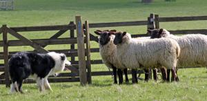 Sheep dog farm herding