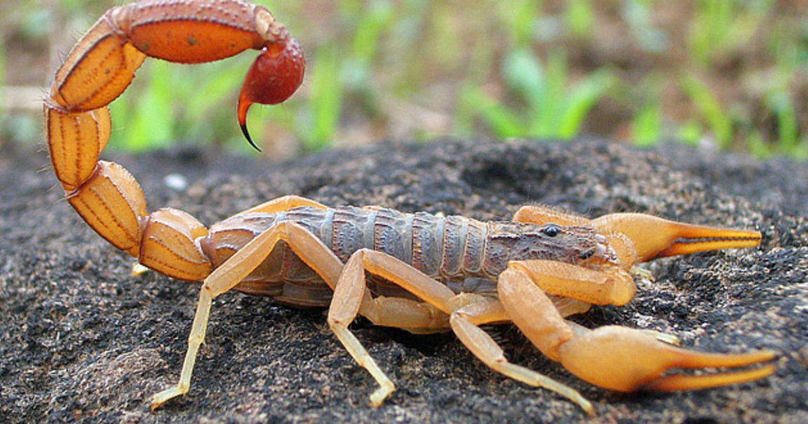 indian-red-scorpion-1152x605