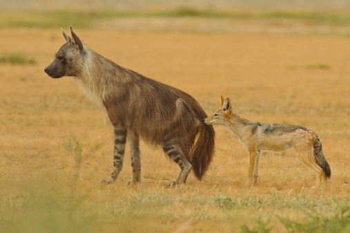 Brown Hyaena and Black Backed Jackal