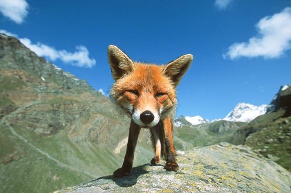 l-Happy-Mountain-Fox