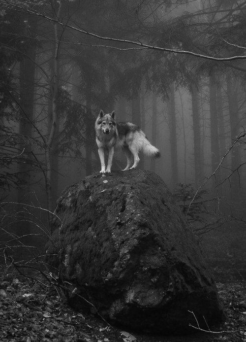 amazing-black-and-white-forest-grey-wolf-Favim.com-661408